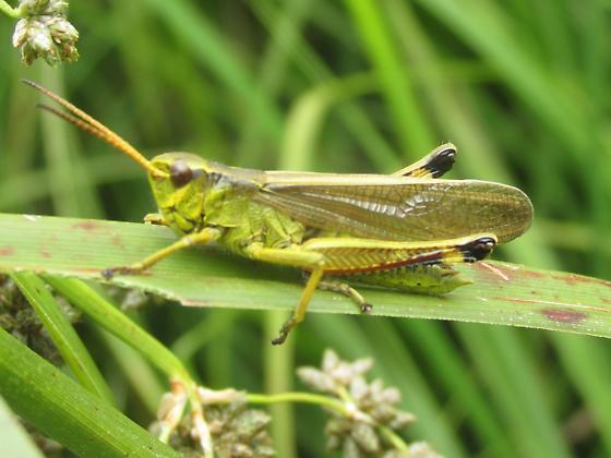 Stethophyma gracilis - male