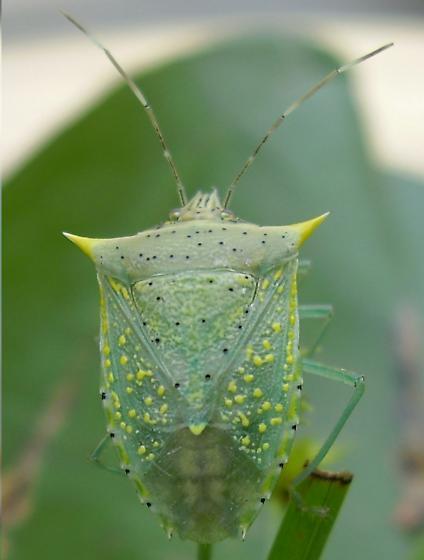stink bug - Arvelius albopunctatus