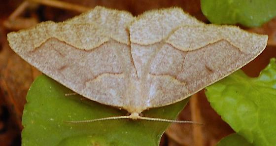 Moth - Lambdina fiscellaria - Lambdina fiscellaria
