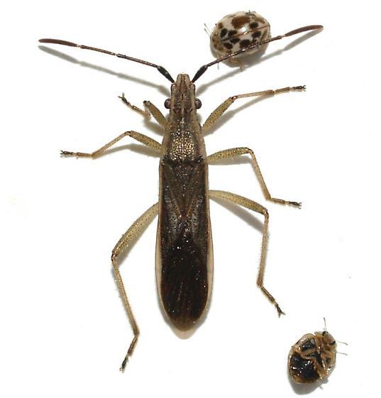 Elongated bug - Darmistus subvittatus