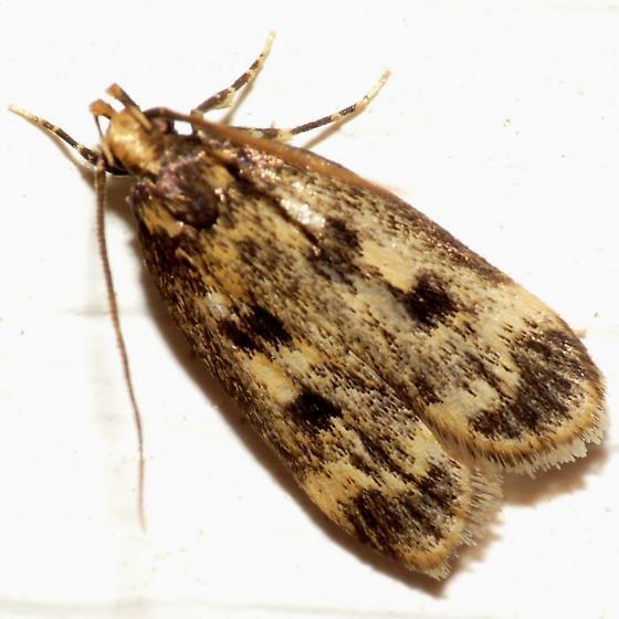 Concealer Moth - Martyringa latipennis