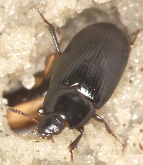 Beach wrack darkling beetle - Phaleria picipes
