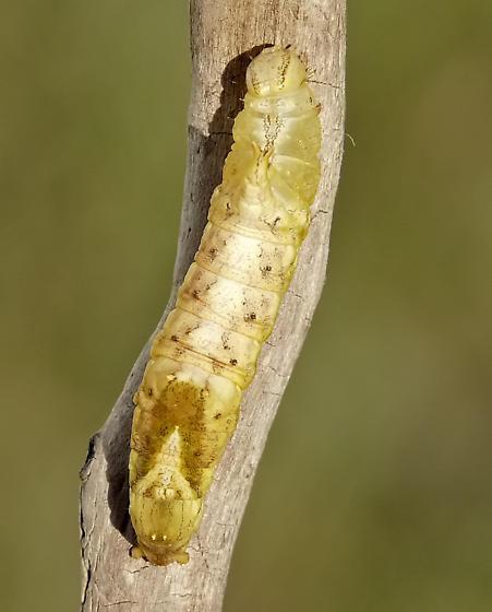 Moth Caterpillar ID request - Oligocentria semirufescens