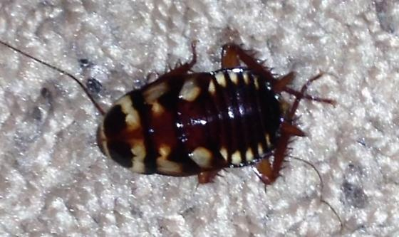 What kind of roach is this? - Periplaneta australasiae