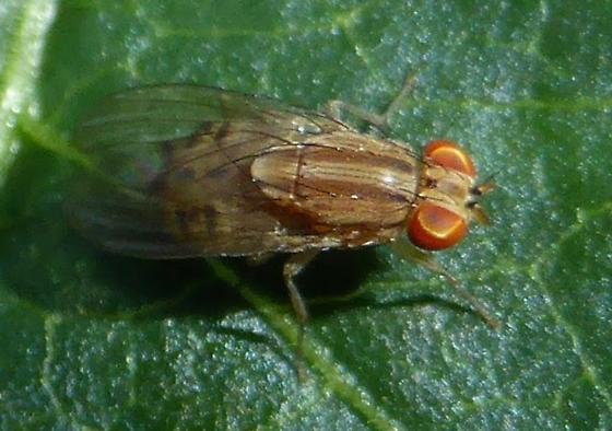 Fly - Poecilominettia