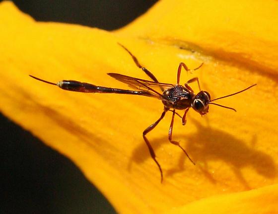 Ichneumon Wasp - Anomalon