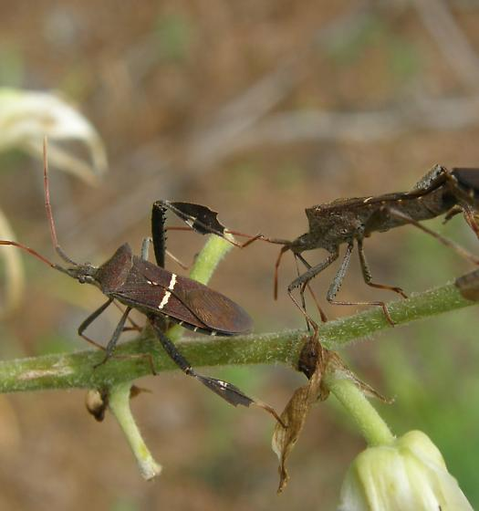 Can enyone ID these bugs? - Leptoglossus phyllopus