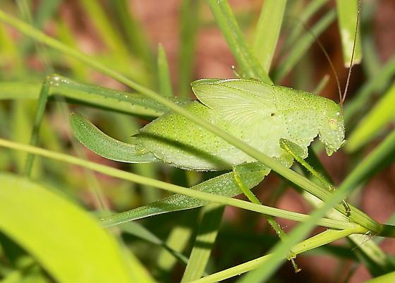 Katydid nymph - Amblycorypha oblongifolia - female