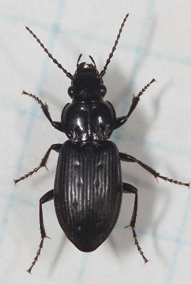Pterostichus? - Pterostichus adstrictus