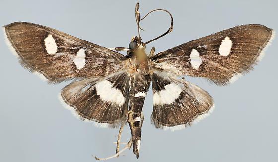Moth, dorsal - Desmia maculalis - male