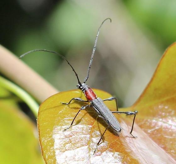Rhopalophora - Rhopalophora longipes