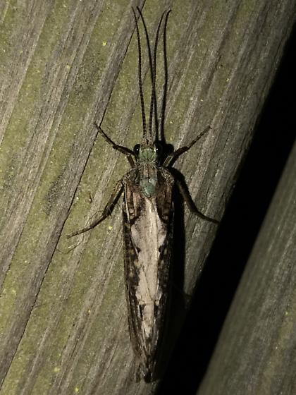 Phryganea sayi - female