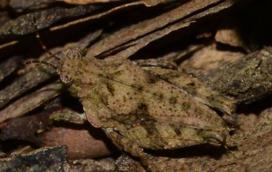Pygmy Grasshopper? - Tetrix ornata