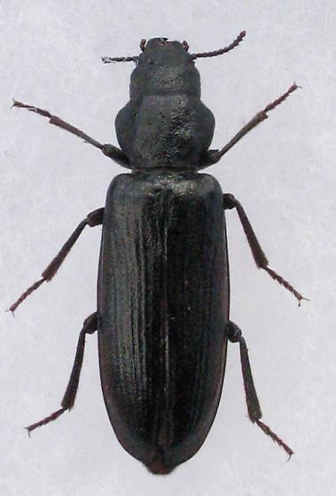 Boridae - Lecontia discicollis