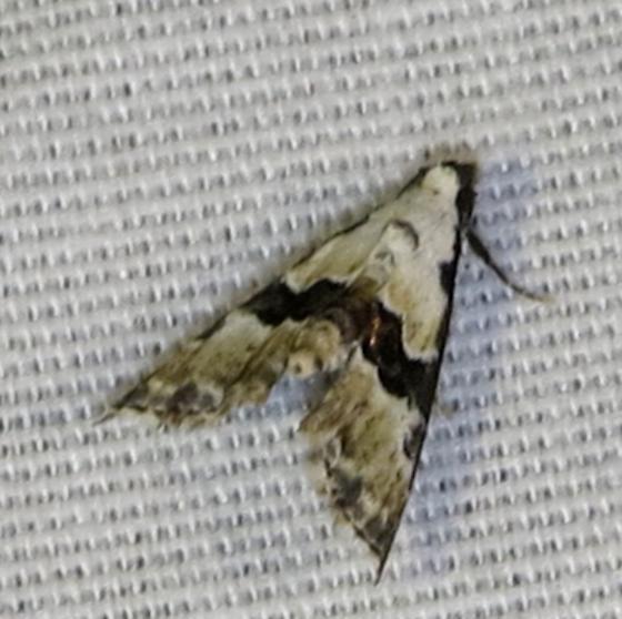 Nigetia formosalis  - Nigetia formosalis