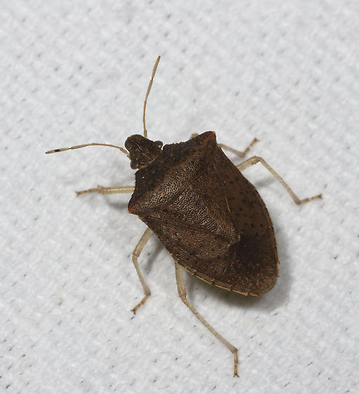 Stink Bug from the gathering - Euschistus