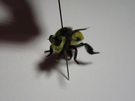 bumblebee? fly?  - Mallophora