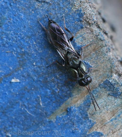 Unknown Wasp - Oodera
