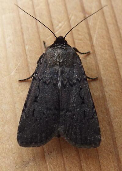 Noctuidae: Spaelotis clandestina - Spaelotis clandestina