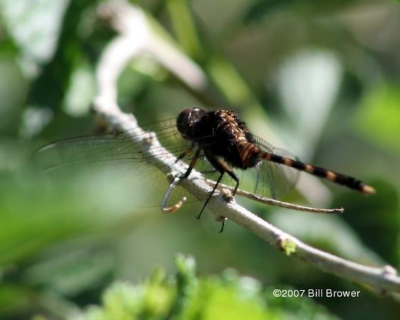 Thin tail - Erythemis plebeja - male