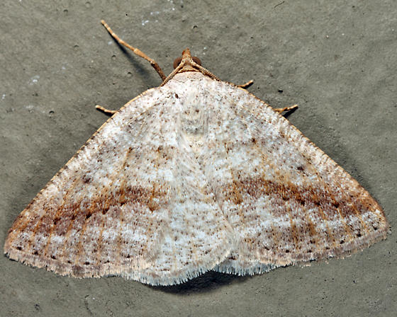 Pale Alder Moth - Tacparia detersata