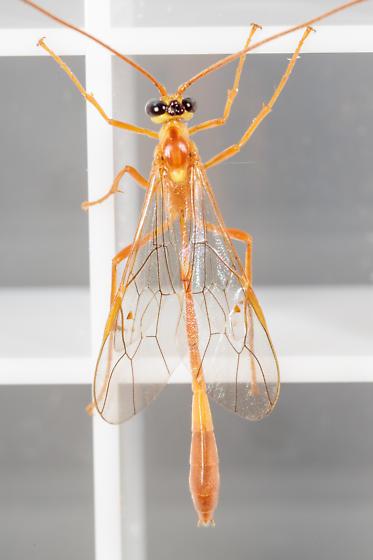 Enicospilus sp. - Enicospilus