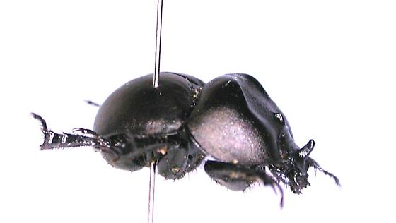 Mycotrupes lethroides - male