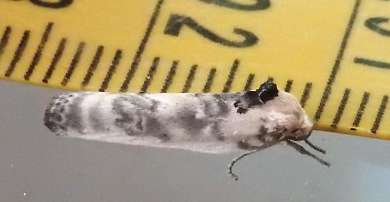 1011 – Antaeotricha schlaegeri – Schlaeger's Fruitworm - Antaeotricha schlaegeri