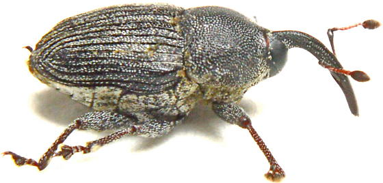 Odontocorynus calcarifer - male