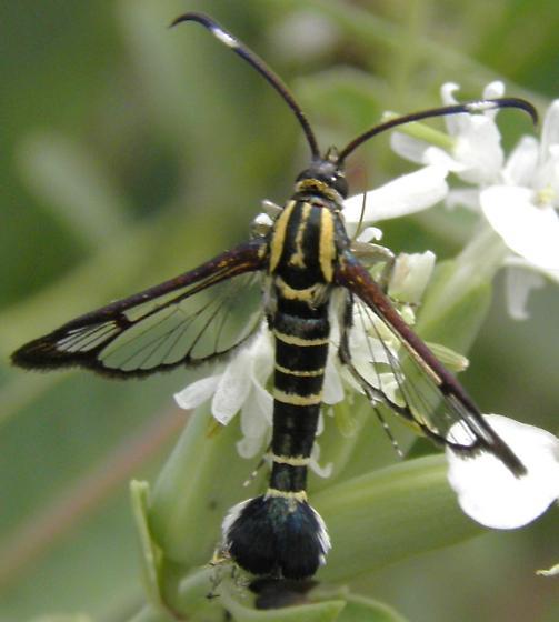 seseiid - Carmenta phoradendri