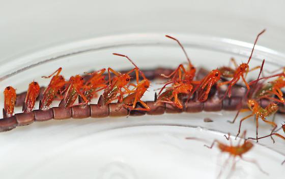 Leptoglossus zonatus Eggs Hatching - Leptoglossus zonatus