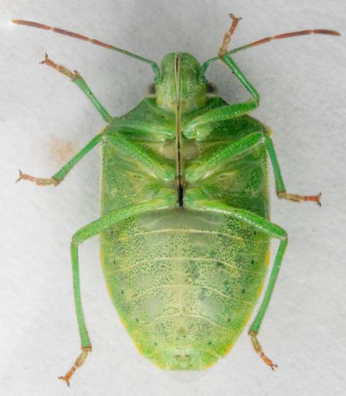 Thyanta - female