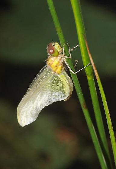 Calico Pennant emerging series - Celithemis elisa