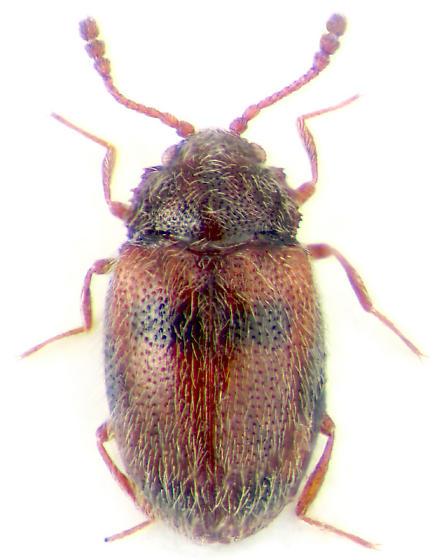 Henotiderus centromaculatus
