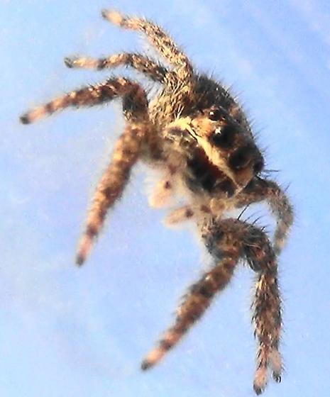 Striped Jumping Spider - Platycryptus californicus - female