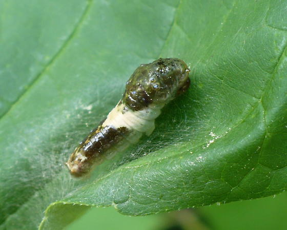 Is this a young Tiger Swallowtail caterpillar? - Papilio glaucus