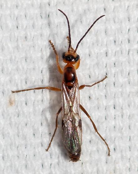 a beauty - Pseudomyrmex gracilis