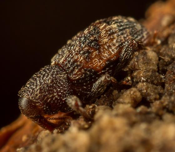 Micromastus gracilis? - Micromastus gracilis