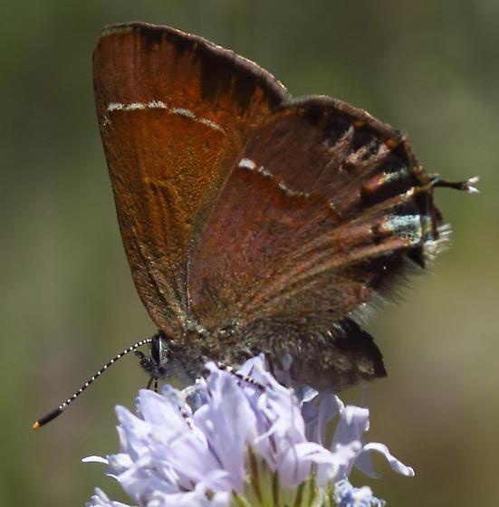 Hairstreak - Callophrys gryneus