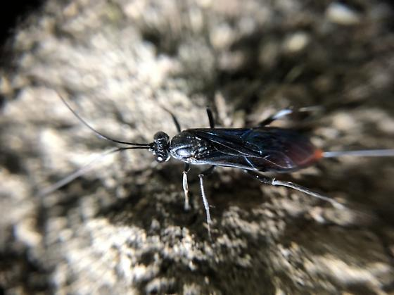 Blue and red wasp - Cryptus albitarsis - female