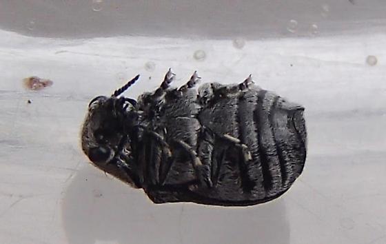 Beetle - Coleothorpa dominicana