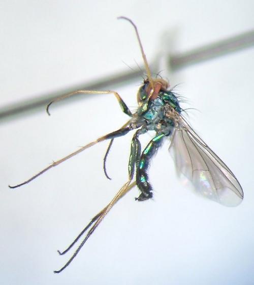 Condylostylus calcaratus - male