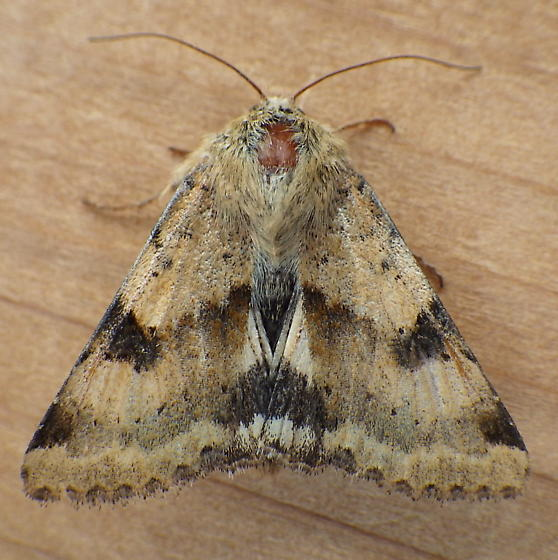 Noctuidae: Heliocheilus phloxiphaga - Heliothis phloxiphaga