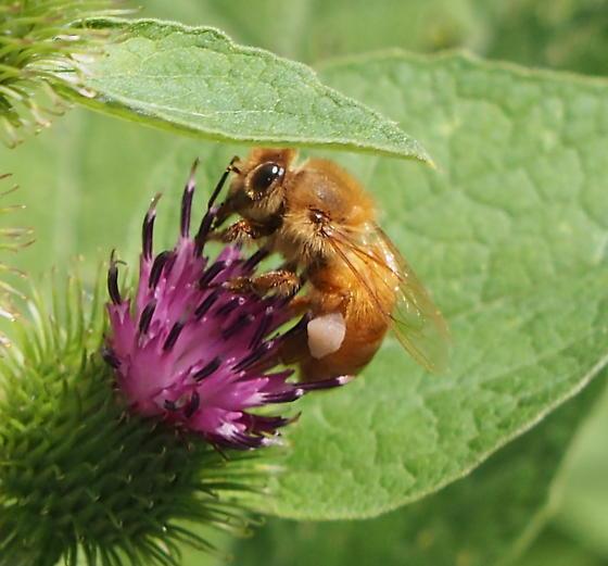 GNC Bee - Apis mellifera