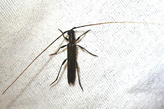 Beetle - Styloxus fulleri - male