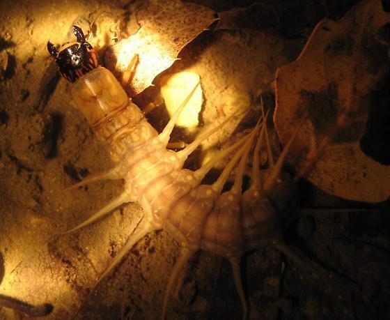 Hellgrammite (Megaloptera larva)