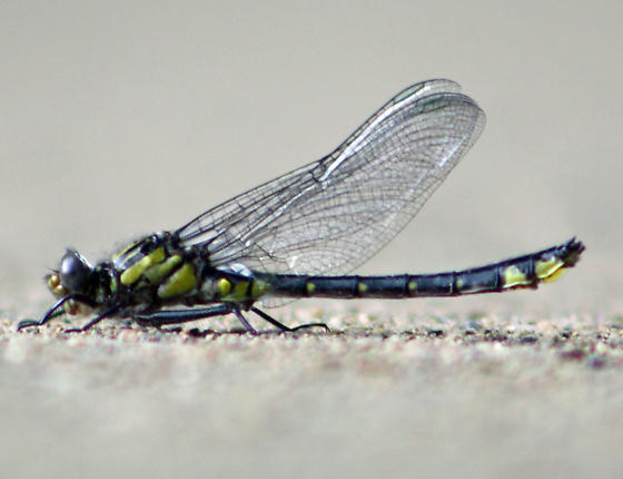 Mustached or Spine-crowned Clubtails? - Hylogomphus abbreviatus