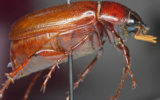 Phyllophaga glaberrima? - Phyllophaga glaberrima