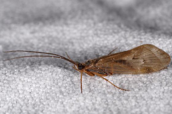 Trichhopteran of some kind ? - Clostoeca disjuncta