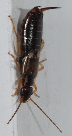 Earwig - Forficula auricularia - female
